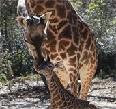 Baby Giraffe at the Zoo
