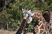 World Giraffe Day